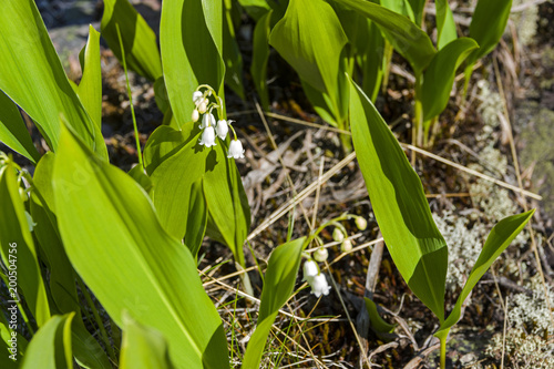 Flowering lily of the valley