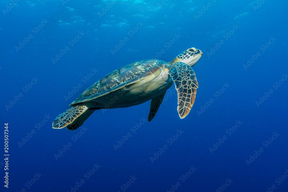 Meeresschildkröte (Chelonia mydas)