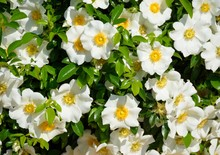 Cherokee Rose Flowers Background