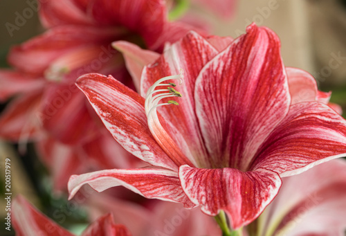 Photo red and white amaryllis flower blooming in a natural garden