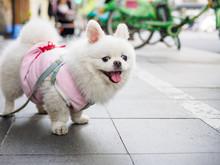 Little Fluffy White Pomeranian...