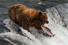 Bear About To Catch Salmon In ...