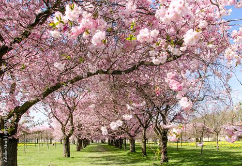 Tuinposter Azalea Frühlingserwachen, Glück, Freude, Optimismus, Glückwunsch, alles Liebe: zarte, duftende japanische Kirschblüten vor blauem Frühlingshimmel :)