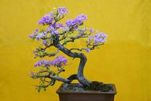 Mix-color Bougainvillea Specta...