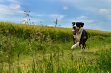 A Beautiful Dog Of The Great Dane Breed Running In The Countryside, In The Middle Of The Wheat Fields.