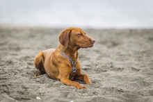 Little Hunting Dog Hungarian Vizslaa Playing On The Sand On The Beach And Having Fun And Posing.young Puppy Relaxes And Trains On The Beach.