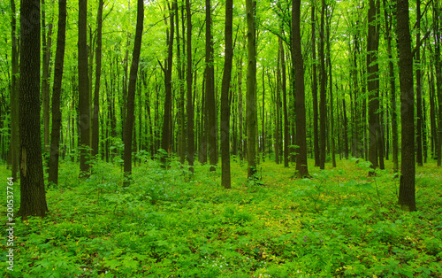 Forest trees in spring #200537764