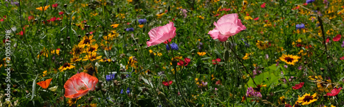 Wall Murals Meadow Photo of poppies in a field of wild flowers, taken on a sunny day in mid-summer, Eastcote, UK