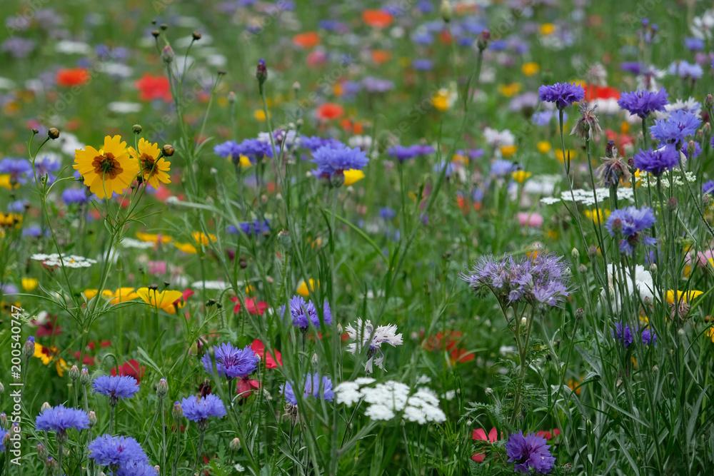 Fototapeta Meadow full of a variety of wild flowers, England UK