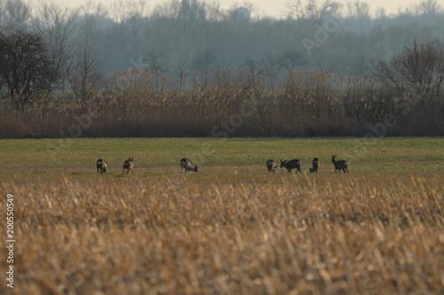Foto op Canvas Ree Rehe beim fressen auf dem Feld