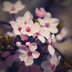 Obraz na SzkleBlossom tree. Nature background in sunny day. Spring flowers. Beautiful Orchard and abstract blurred background. Concept for springtime - Japanese cherry Sakura.