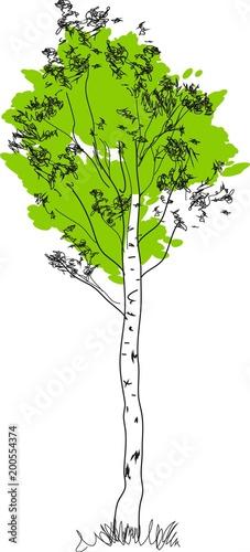 Stylizowane brzozy z zieloną koronę i biały pień