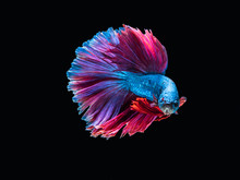 "Fighting Fish ""Fancy Halfmoon Betta"", Beautiful Of Siam Betta Fish In Thailand. Isolated On Black Background."