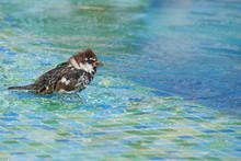 Male Sparrow Bathing In A Swim...