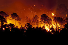 Forest Fire, Pinus Pinaster, G...