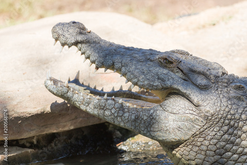Foto op Canvas Krokodil Nile Crocodile
