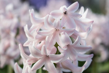 White Hyacinths Blossom In The...