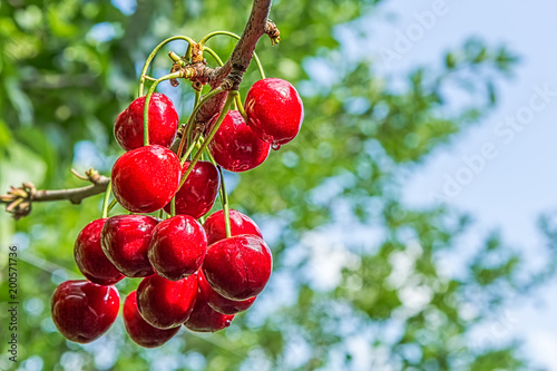Red berries of a sweet cherry on a branch