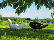 Pair Of Muscovy Ducks, Walking...