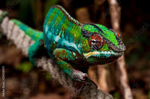 Poster Kameleon Chamäleon