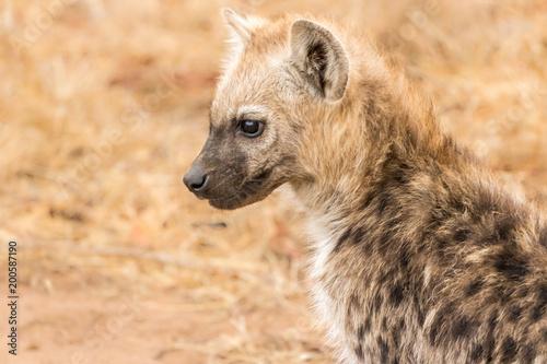Fotobehang Hyena Spotted Hyena
