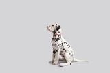 Fototapeta Zwierzęta - Dalmatian Puppy on Isolated Background