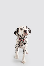 Dalmatian Puppy On Isolated Ba...