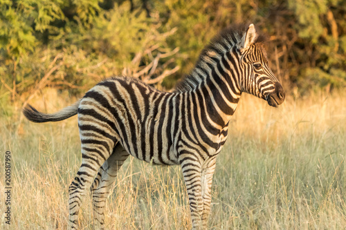 Foto op Canvas Zebra Young Plains Zebra