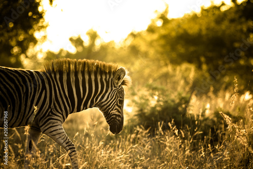 Poster Zebra Young Plains Zebra