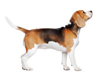Side View Picture Of A Beagle ...