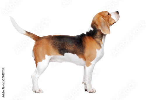 Photo  Beagle dog trained to stand for a dog show