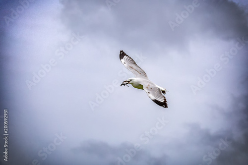 Fotografie, Obraz  A baby green turtle in the mouth of a juvenile seagull flying in the air