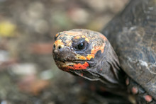 Red-footed Tortoise.