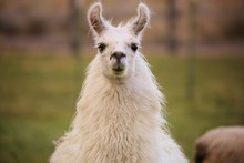 Llama's Happy To See You!