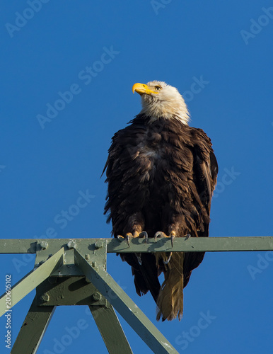 Photo  Closeup (700 mm) of a bald eagle standing on a power tower, seen in the wild in