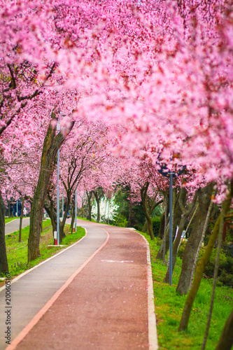 Foto op Canvas Candy roze Beautiful landscape with a park alley covered with branches filled with pink flowers in springtime in Timisoara, Timis County, Romania
