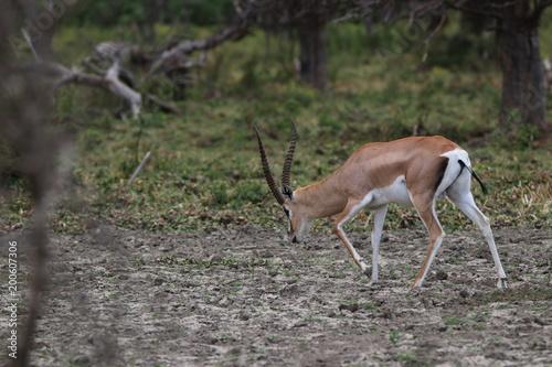 Staande foto Antilope gazelle de grant kenya