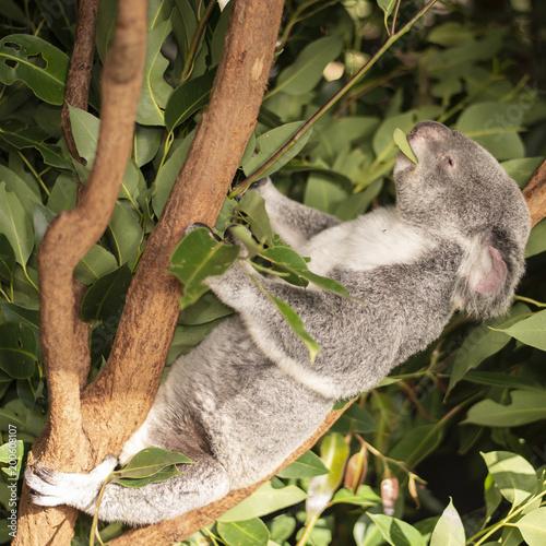 Poster Oceanië Cute Australian Koala resting during the day.