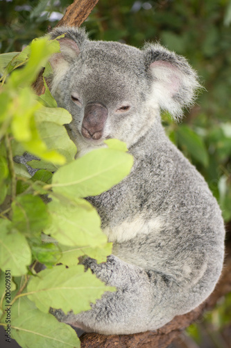 Staande foto Koala Cute Australian Koala resting during the day.
