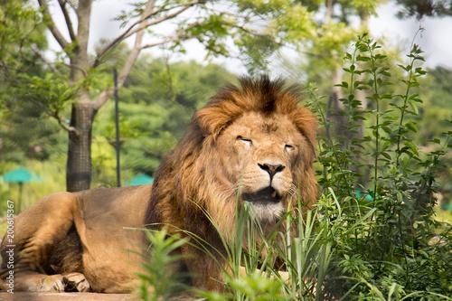 Fotografie, Obraz  動物園のライオン