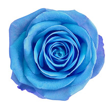 Flower Blue Rose  Isolated On White Background. Close-up.  Element Of Design.