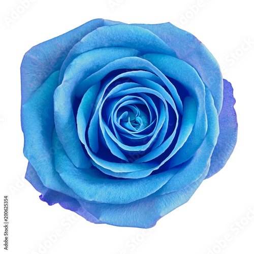 Flower blue rose  isolated on white background. Close-up.  Element of design. Wall mural