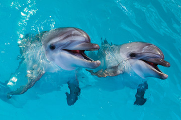 Fototapeta Delfin Group of cute smart dolphins in the ocean