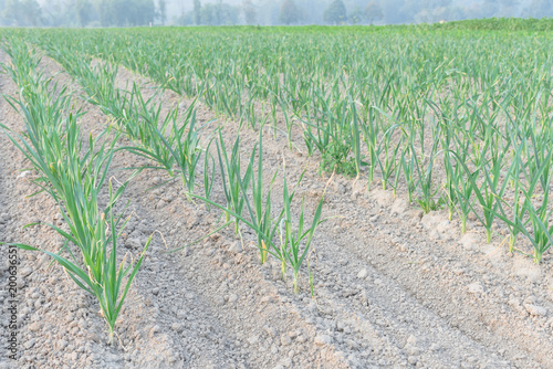 Fotografia, Obraz  Row of leeks growing on a bed planted in neat rows leads to horizontal at farm in Kent, Washington, USA