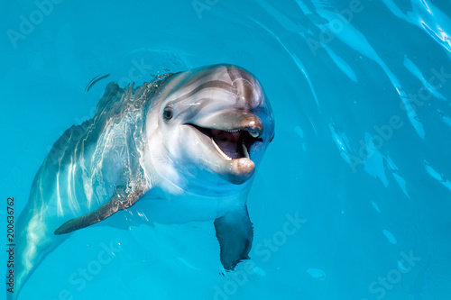Photo sur Aluminium Dauphin Dolphin portrait while looking at you with open mouth