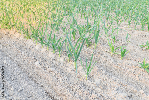 Fotografia, Obraz  Row of leeks growing on a bed planted in neat rows at farm in Kent, Washington, USA