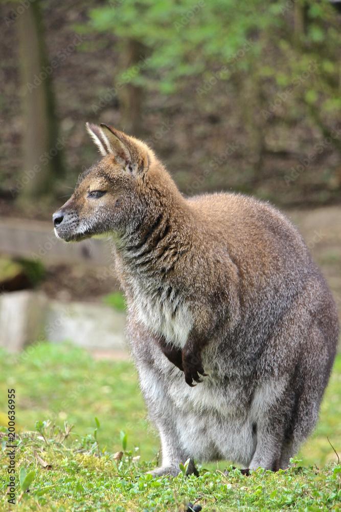 Fotografia Bennett Känguru schaut und träumt