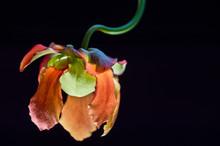 Kwiat Dzbanecznika