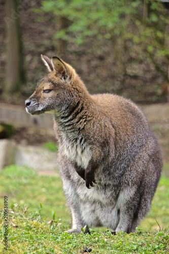 Leinwand Poster Bennett Känguru schaut und träumt