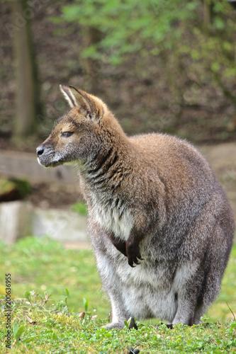 Bennett Känguru schaut und träumt Fotobehang